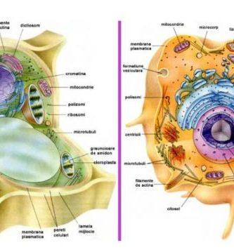Diferencias Celula Animal y Vegetal