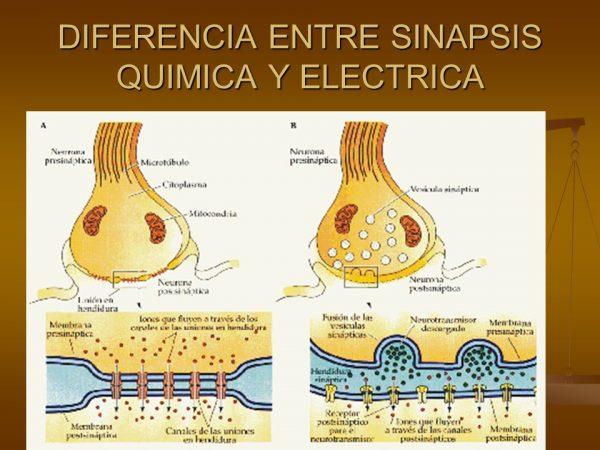 Diferencias Entre Sinapsis Electrica Y Quimica Solucion