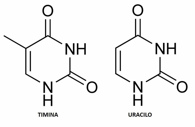 Diferencias Entre Timina Y Uracilo Solución